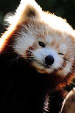 Raccoon animais engraçados