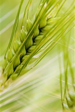 Preview iPhone wallpaper Macro of green wheat