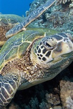 Preview iPhone wallpaper Two sea turtles