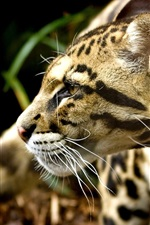 Preview iPhone wallpaper Cheetah's attention