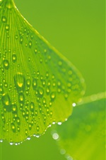 Preview iPhone wallpaper Ginkgo leaves with water drops close-up