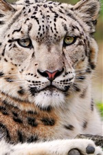 Preview iPhone wallpaper Leopard close-up photography