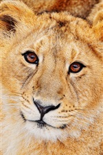 Preview iPhone wallpaper Lion feline predators