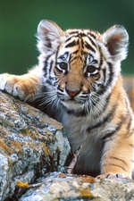 Preview iPhone wallpaper Little tiger