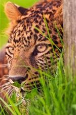 Preview iPhone wallpaper Cheetah ambush target