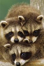 Preview iPhone wallpaper Cute little raccoon