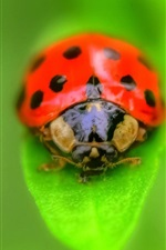 Preview iPhone wallpaper Ladybug on green leaf