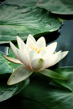 Preview iPhone wallpaper Nature flower water lily
