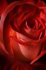 Preview iPhone wallpaper Red rose petals macro