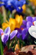 Preview iPhone wallpaper Spring flowers crocuses