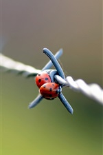 Preview iPhone wallpaper Two ladybugs on the barbed wire
