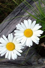 Preview iPhone wallpaper Two white daisy
