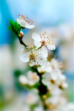 Preview iPhone wallpaper White apple blossoms