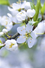 Preview iPhone wallpaper Apple blossom flower buds of white petals branch