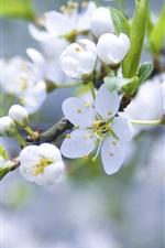 미리보기 iPhone 배경 화면 하얀 꽃잎 지점의 애플 벚꽃 꽃 봉오리