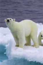 Preview iPhone wallpaper Bear and cubs on an ice floe