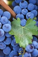 Blue and purple grape harvest