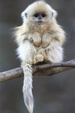 Preview iPhone wallpaper Cute shaggy macaque
