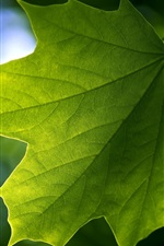 Preview iPhone wallpaper Green maple leaf close-up