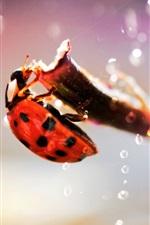 Preview iPhone wallpaper Ladybug macro photography