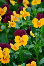 Preview iPhone wallpaper Many pansy flowers