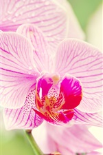 Preview iPhone wallpaper Phalaenopsis orchid flower macro