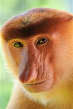 Preview iPhone wallpaper Proboscis monkey close-up
