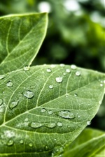 Preview iPhone wallpaper Raindrops on green leaves