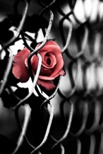 Preview iPhone wallpaper Rose Fence