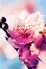 Preview iPhone wallpaper Sakura blossom pink flowers