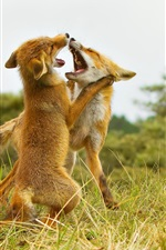 Preview iPhone wallpaper Two foxes playing
