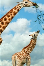 Preview iPhone wallpaper Two giraffes