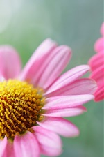 Preview iPhone wallpaper Two pink chrysanthemum