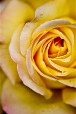 Preview iPhone wallpaper Yellow rose in full bloom close-up