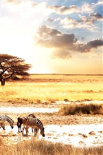 African animals zebra savanna