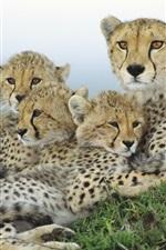 Preview iPhone wallpaper Cheetah family