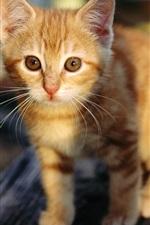 Preview iPhone wallpaper Cute orange kitten