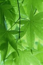 미리보기 iPhone 배경 화면 봄 비 후 녹색 단풍나무 잎