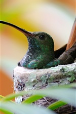 Preview iPhone wallpaper Hummingbird bird nest