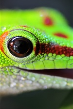 Preview iPhone wallpaper Lizard quenches thirst