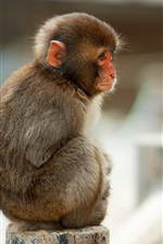 Preview iPhone wallpaper Macaque monkey sitting on stone fence