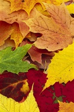 Preview iPhone wallpaper Maple leaves autumn season