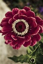 Red tsiniya flower