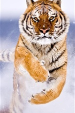 Preview iPhone wallpaper Siberian tiger snow