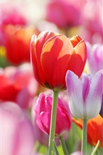 Preview iPhone wallpaper Spring flowers tulips