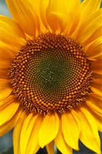 Preview iPhone wallpaper Sunflower yellow green