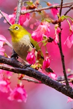 Preview iPhone wallpaper Cherry tree bird
