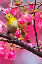 Pássaro Cerejeira