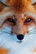Preview iPhone wallpaper Fox close-up