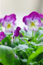 Preview iPhone wallpaper Purple pansy flower